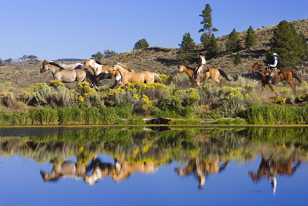 cowgirl and cowboys with horses, wildwest, Oregon, USA