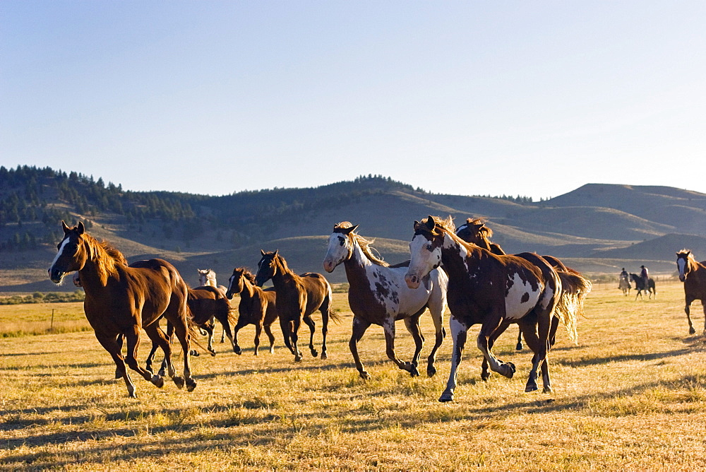 horses in wildwest, Oregon, USA