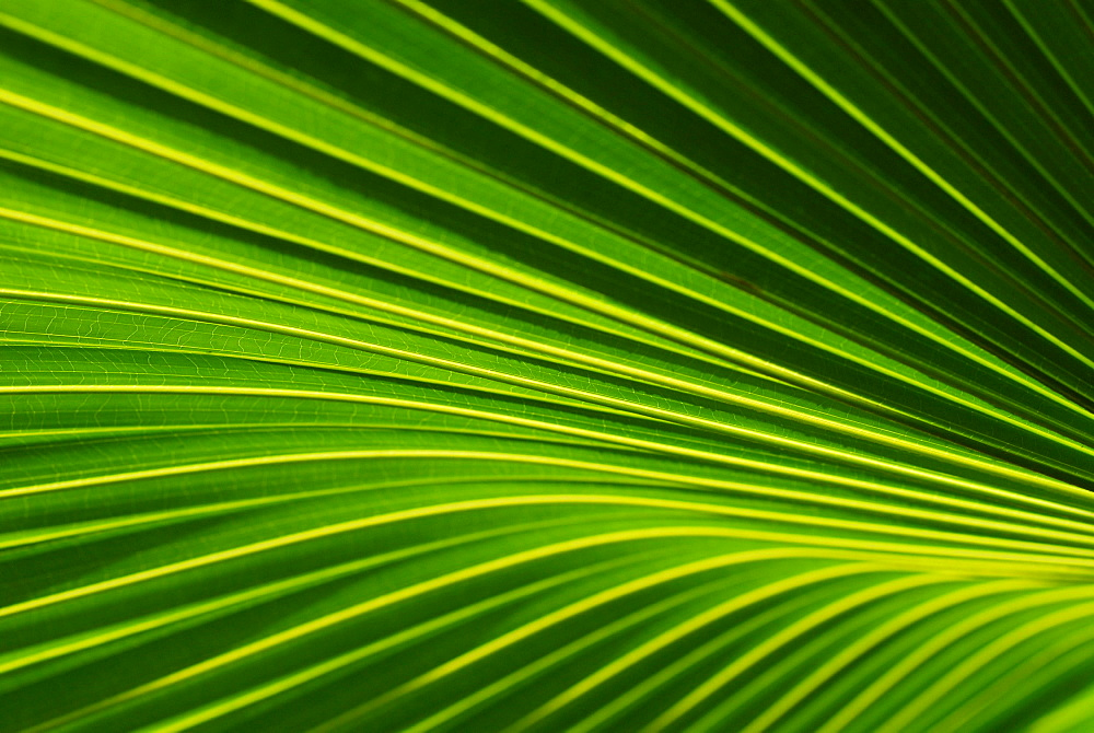 Close up of a Palmyra Palm leaf, Spa Garden, Hotel Pimalai, Ao Kantiang, Ko Lanta, Thailand