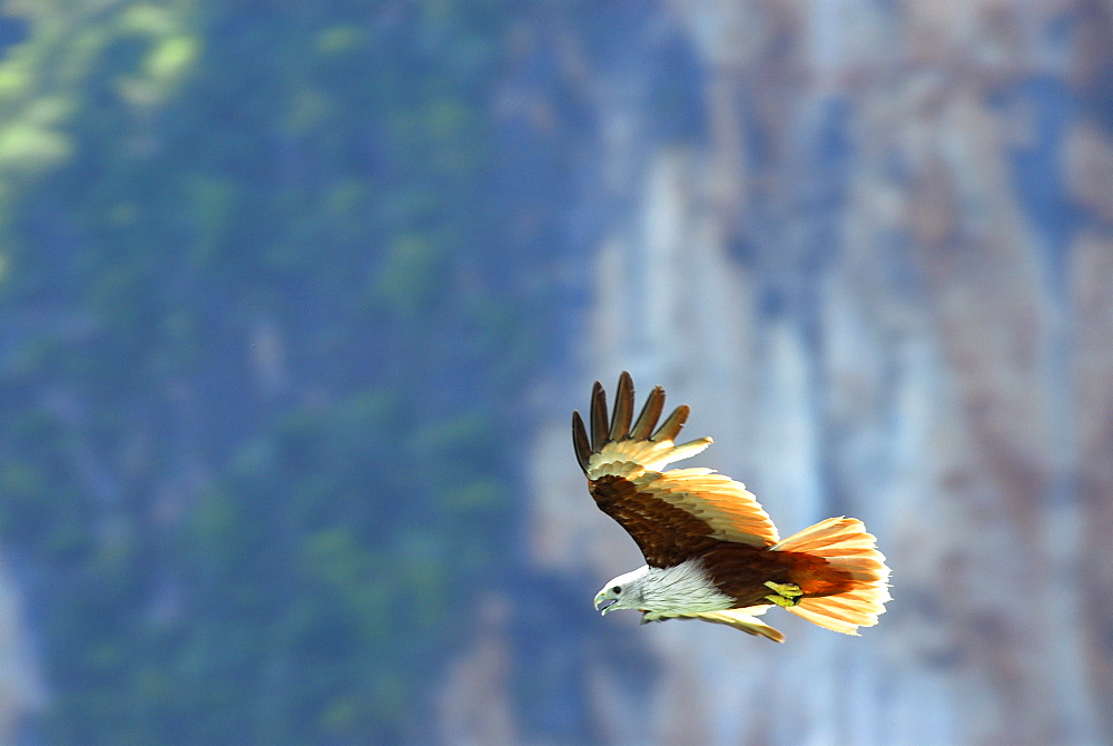 Sea Eagle flying in front of limestone cliffs, Phang Nga, Thailand
