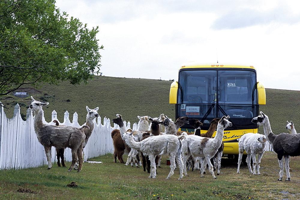 Llamas and Tour Bus, Estancia Rio Penitente, near Punta Arenas, Patagonia, Chile