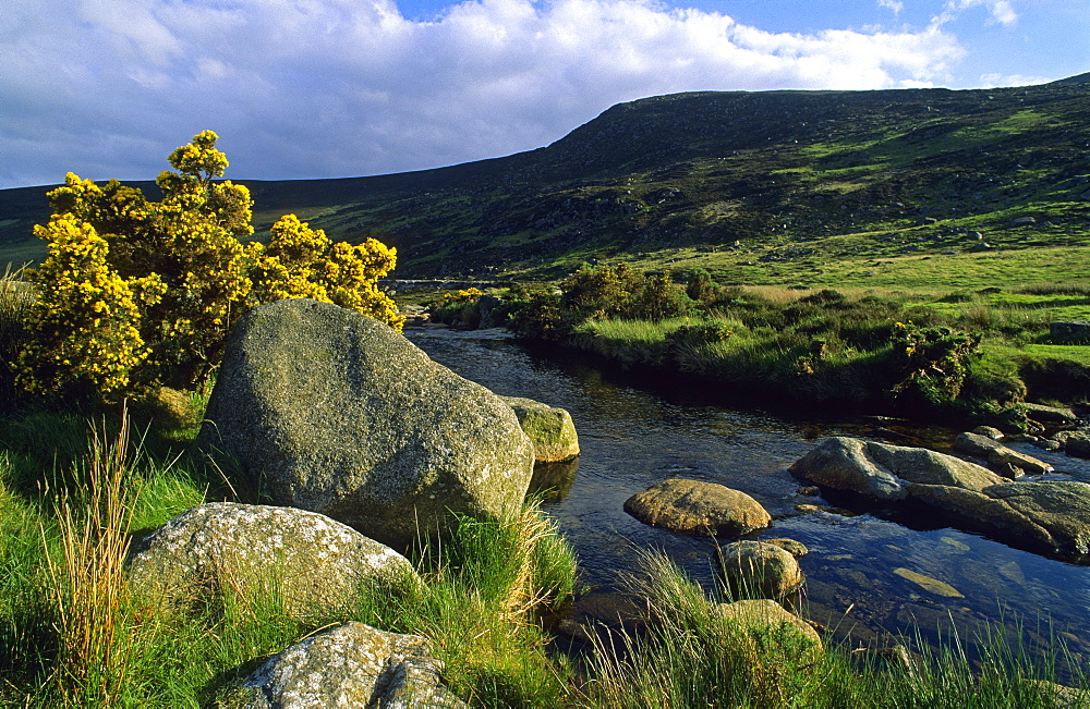 Idyllic landscape with stones and broom at the riverbank, Wicklow Mountains, County Wicklow, Ireland, Europe
