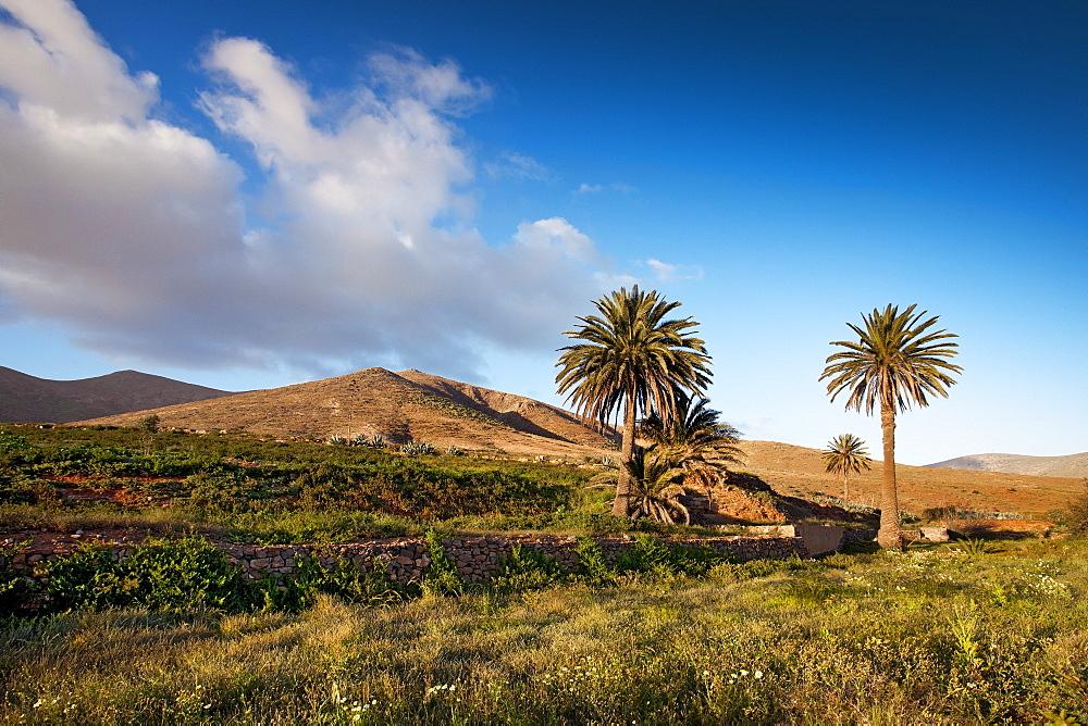 Palm tree oasis, Vega de Rio de las Palmas, Fuerteventura, Canary Islands, Spain