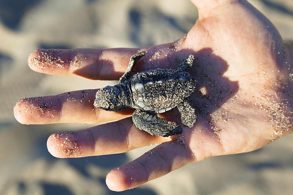 Loggerhead Sea Turtle, hatchling in child's hand, Caretta caretta, lycian coast, Mediterranean Sea, Turkey