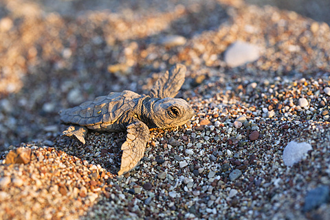 Loggerhead Sea Turtle, hatchling, Caretta caretta, Cirali, lykian coast, Mediterranean Sea, Turkey