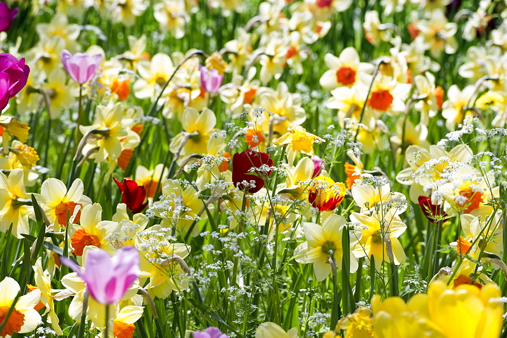 Flower meadow with daffodils, Mainau Island, Lake Constance, Baden-Wuerttemberg, Germany, Europe - 1113-92585