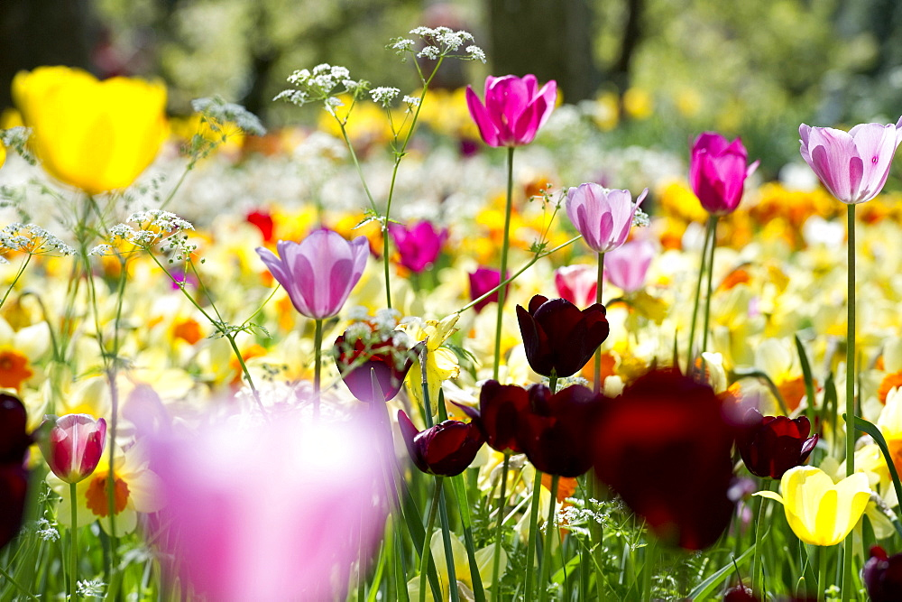 Flower meadow with tulips, Mainau Island, Lake Constance, Baden-Wuerttemberg, Germany, Europe - 1113-92587
