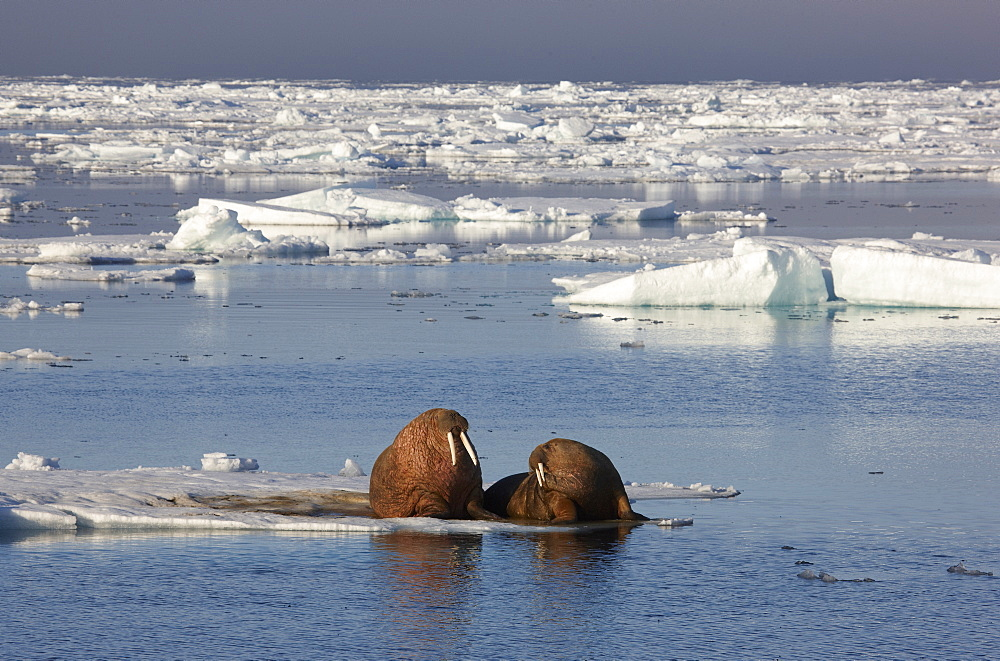 Walruses playing in pack ice, Hinlopenstretet, Arctic Ocean, Svalbard, Norway, Europe