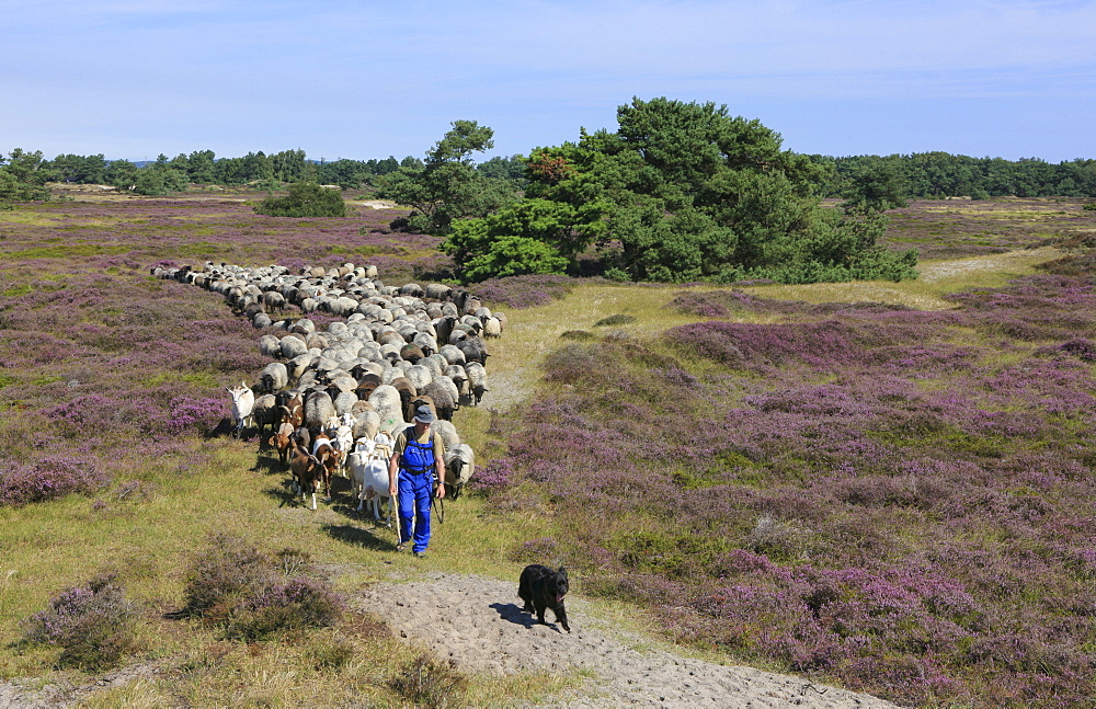 Shepherd with flock of sheep in the moorland, Hiddensee Island, Western Pomerania Lagoon Area National Park, Mecklenburg Western Pomerania, Germany, Europe