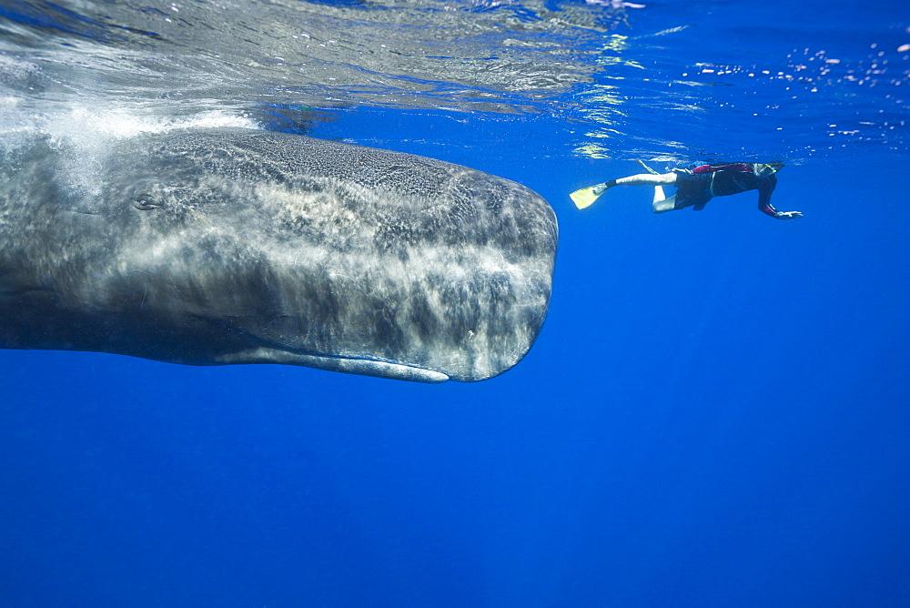Sperm Whale and Skin diver, Physeter macrocephalus, Caribbean Sea, Dominica, Leeward Antilles, Lesser Antilles, Antilles, Carribean, West Indies, Central America, North America