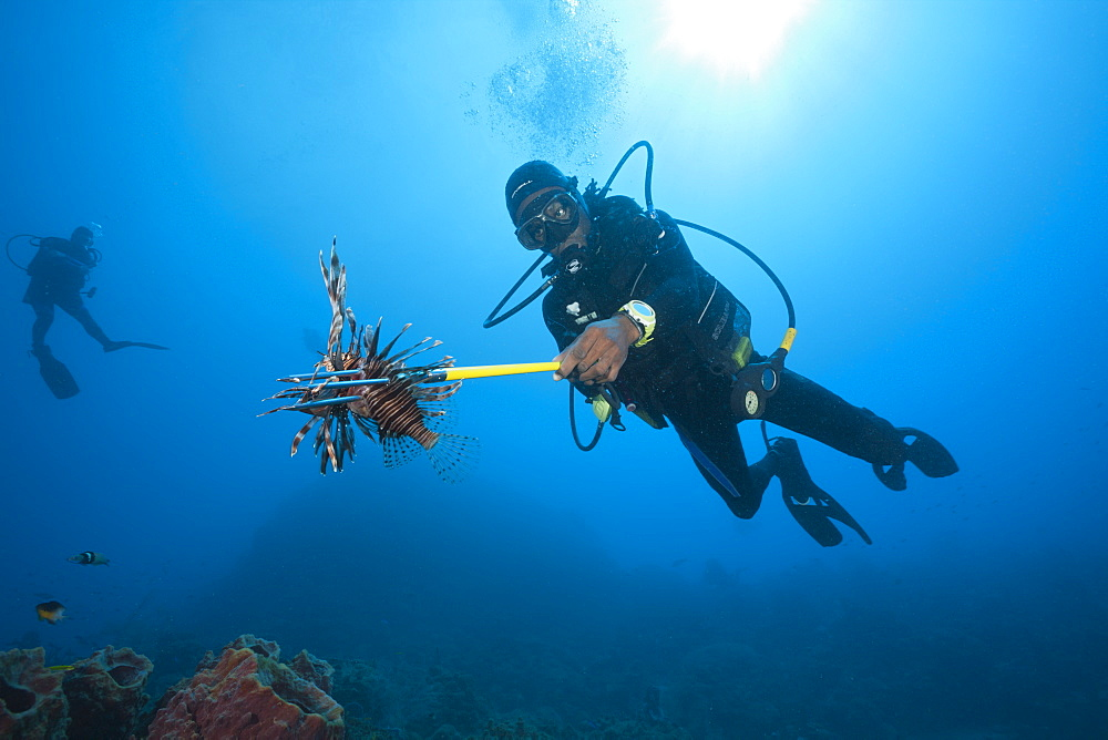 Invasive Lionfish speared by Diver, Pterois volitans, Caribbean Sea, Dominica, Leeward Antilles, Lesser Antilles, Antilles, Carribean, West Indies, Central America, North America