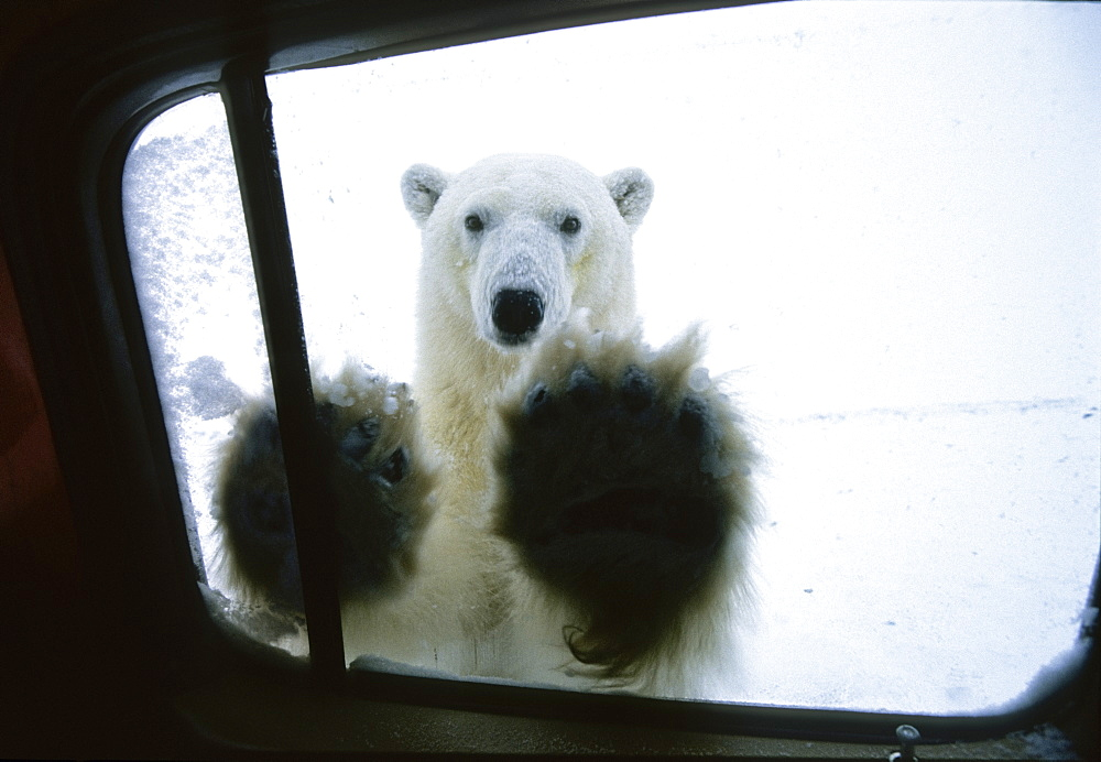 Polarbear at car window, Ursus maritimus, Churchill, Canada
