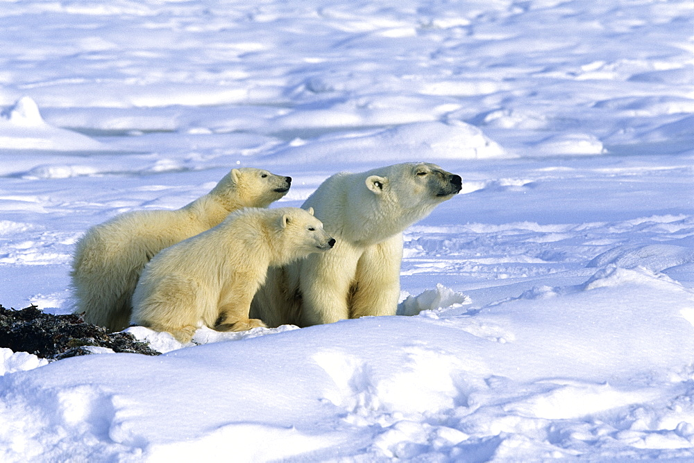 Polar Bear with cubs, Ursus maritimus, Churchill, Canada