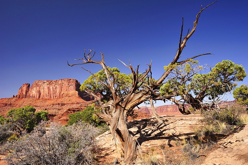 Utah juniper under blue sky, White Rim Drive, White Rim Trail, view to Green River, Island in the Sky, Canyonlands National Park, Moab, Utah, Southwest, USA, America
