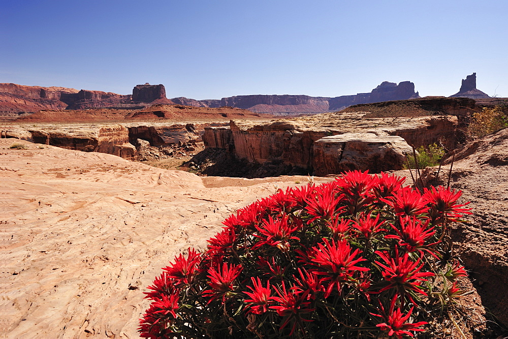 Flowering red Indian paintbrush, Castilleja, at White Rim Drive, White Rim Trail, Island in the Sky, Canyonlands National Park, Moab, Utah, Southwest, USA, America