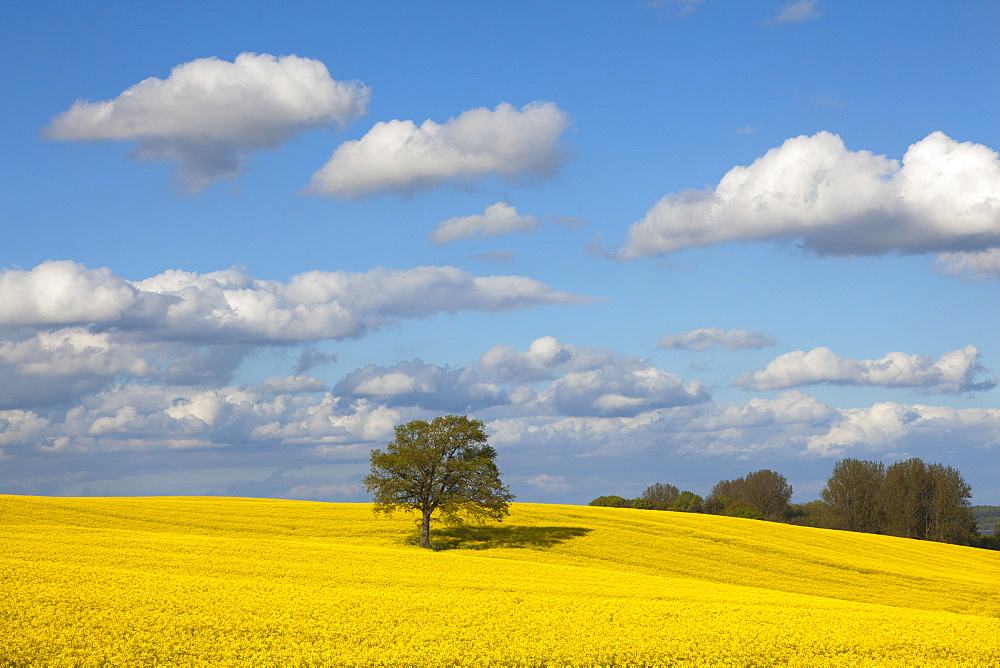 Oak in rape field, Baltic Sea, Schleswig-Holstein, Germany, Europe