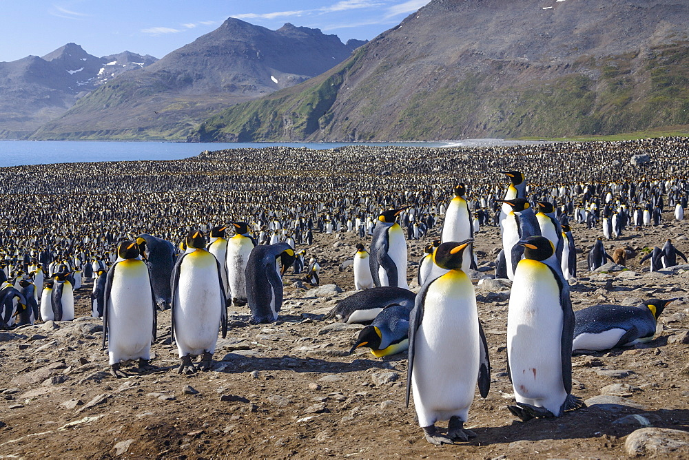 King Penguins in colony, Aptenodytes patagonicus, colony, St Andrews Bay, South Georgia, Subantarctic, Antarctica