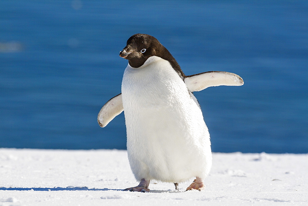 Adelie Penguin, Pygoscelis adeliae, Antarctic Peninsula, Antarctica