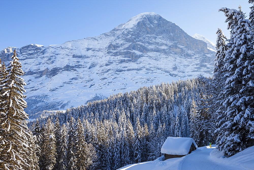Snowshoe Trekking with dog and deep snowed in alpine cottage, in the background Eiger North Wall above Grindelwald, Jungfrauregion, Bernese Oberland, Canton Bern, Switzerland, Europe