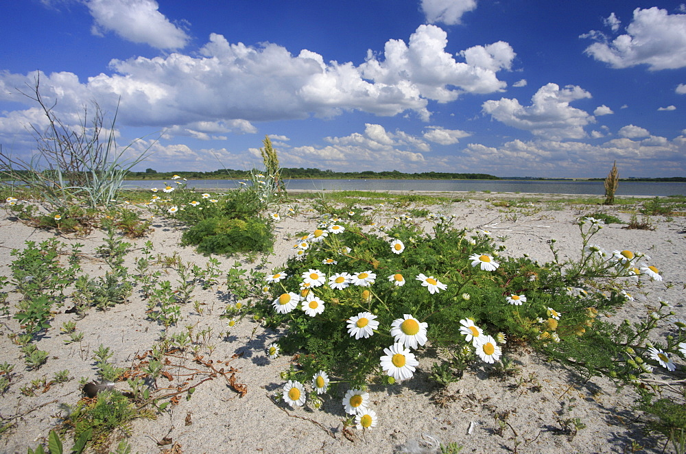 Camomile on the beach of Wustrow peninsula, Salzhaff, Mecklenburg Western Pomerania, Germany, Europe