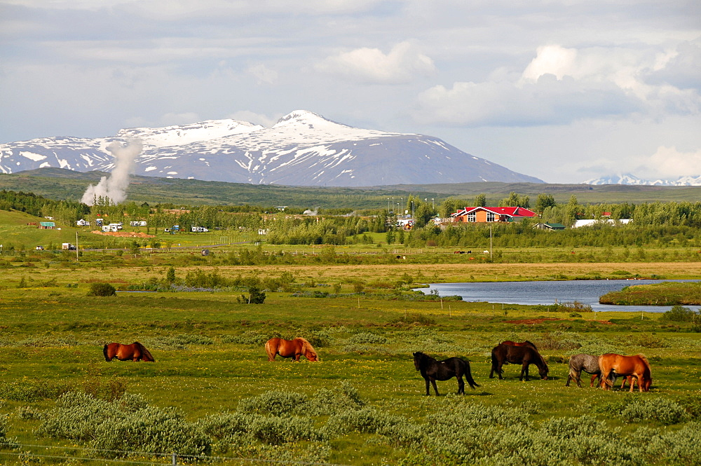 Horses grazing at the geyser area in the valley of Haukadalur at the golden circle, Iceland, Europe