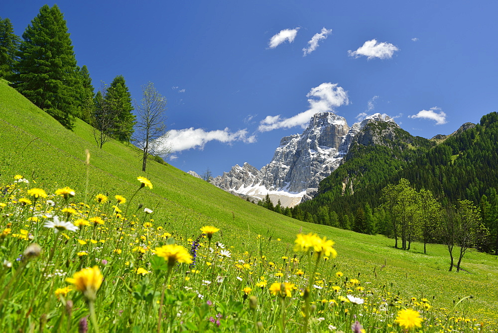 Flowering meadow in front of Monte Pelmo, Dolomites, UNESCO world heritage site Dolomites, Venetia, Italy