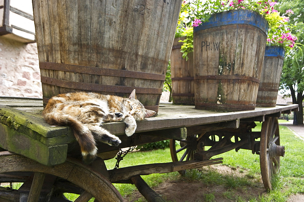 Sleeping cat lying next to old wine barrels, Riquewihr, Alsace, France