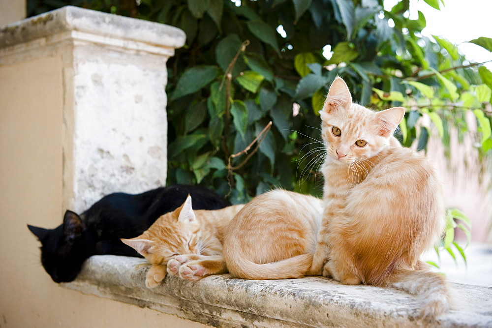 Kittens sat on a wall, cats, Sicily, Italy - 1113-95102