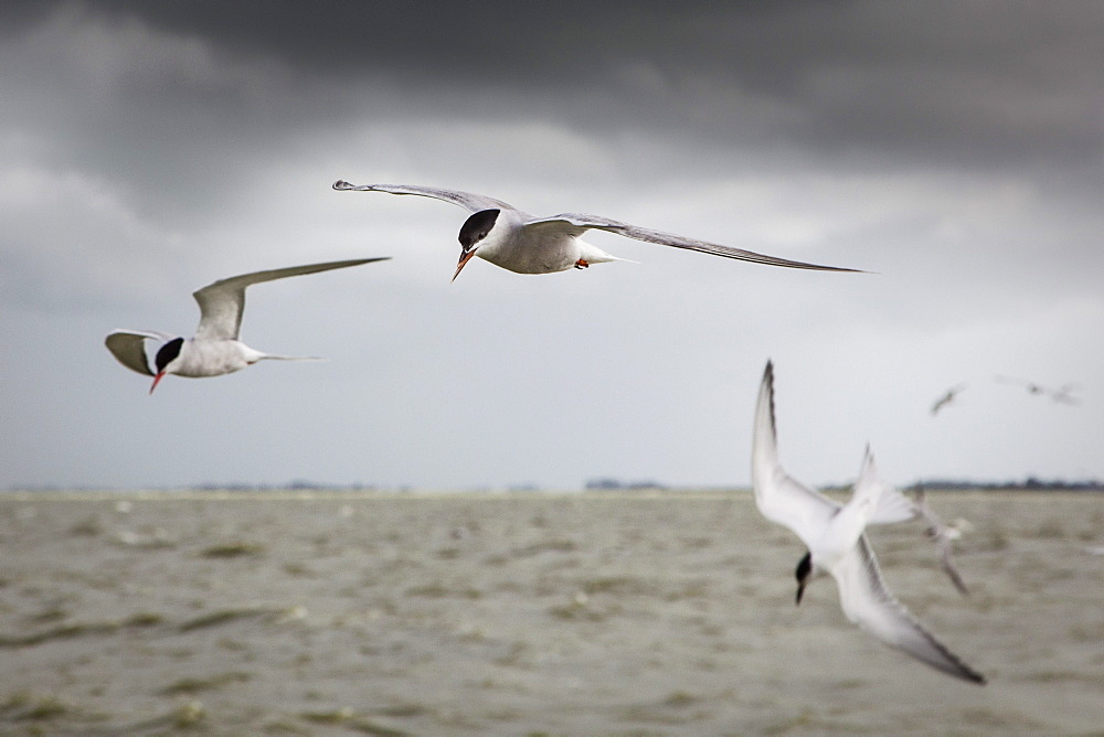 Terns flying above Lake IJssel, Holland, Netherlands, Europe