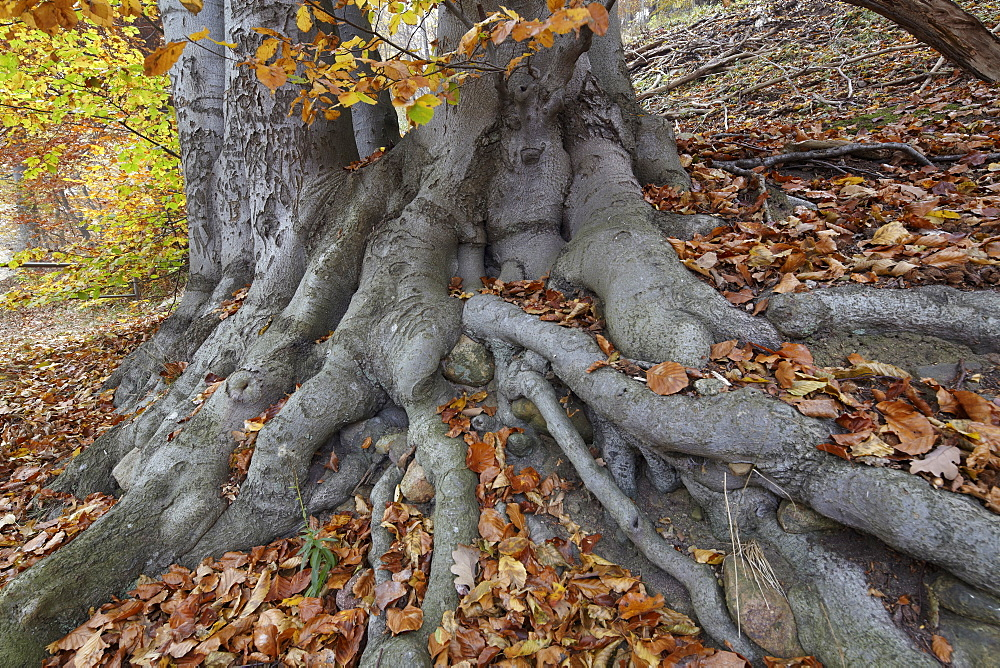 Roots of a beech tree at lake Schmaler Luzin in autumn, Feldberg Lake District Nature Park, Mecklenburg Western Pomerania, Germany, Europe