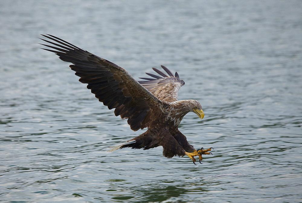 Sea eagle fishing, Feldberg Lake Distric, Mecklenburg Western Pomerania, Germany, Europe