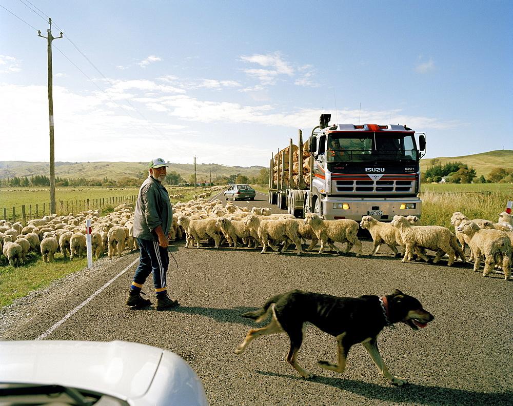 Flock of sheep and shepherd crossing highway 35, East coast, North Island, New Zealand