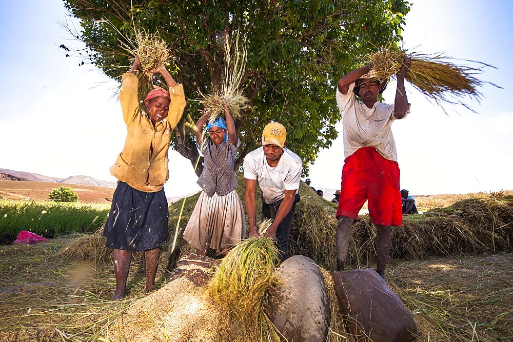 Farmers treshing millet, Madagascar, Africa