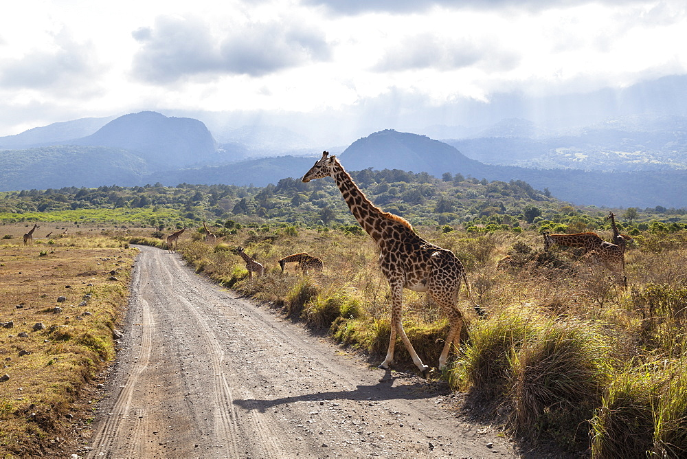 Massai Giraffe crossing the road, Giraffa camelopardalis, Mount Meru, Arusha National Park, Tanzania, East Africa, Africa