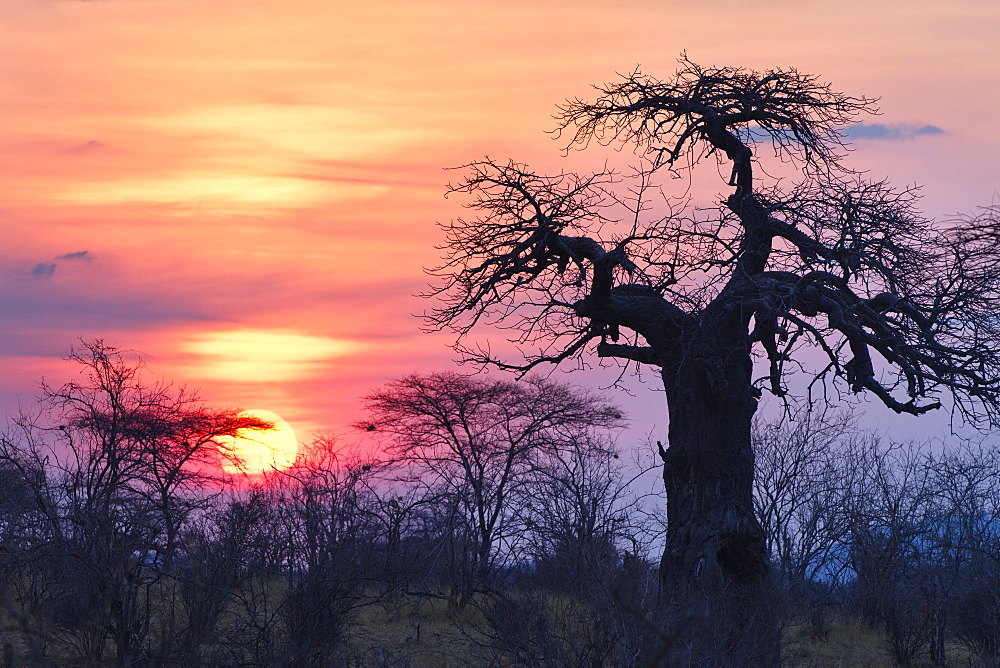African Baobab at sunrise, Adansonia digitata, Ruaha National Park, Tanzania, Africa