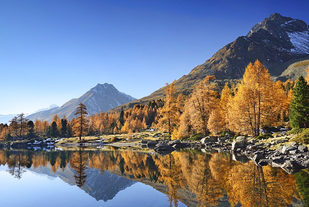 Larch trees in autumn colors and mountains reflecting in a mountain lake, Lake Val Viola, Val da Cam, Val Poschiavo, Livigno Range, Grisons, Switzerland