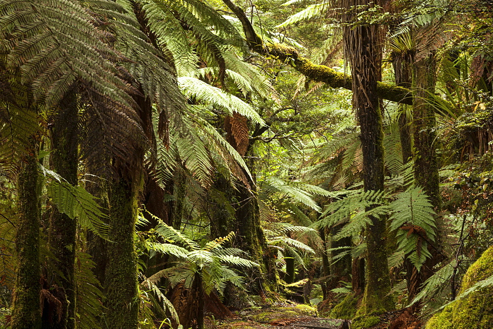 Primeval forest with tree ferns and moss covered podocarps, Children of the Mist, Lake Waikaremoana, Te Urewera National Park, North Island, New Zealand