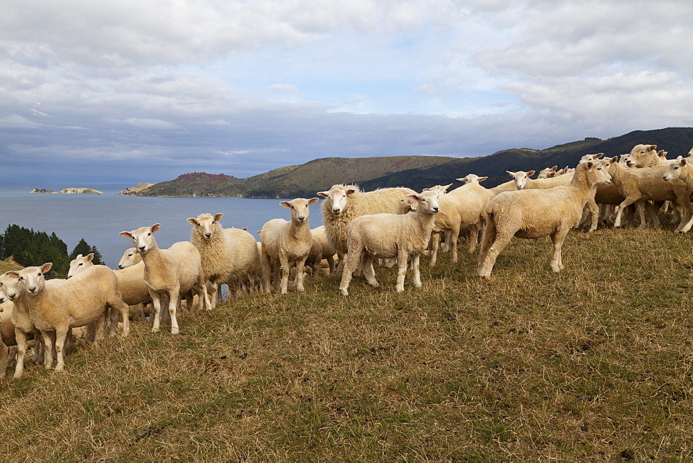 Sheep on a hill all looking in the camera, French Pass, Marlborough Sounds, South Island, New Zealand