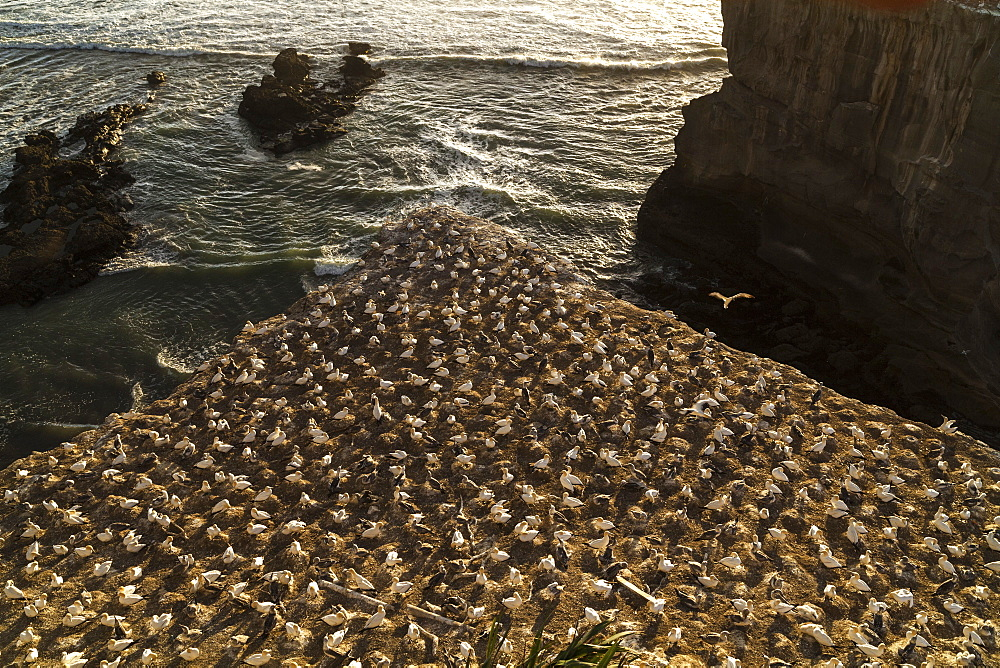 Close-up of gannet colony at Muriwai Beach, west coast near Auckland, North Island, New Zealand