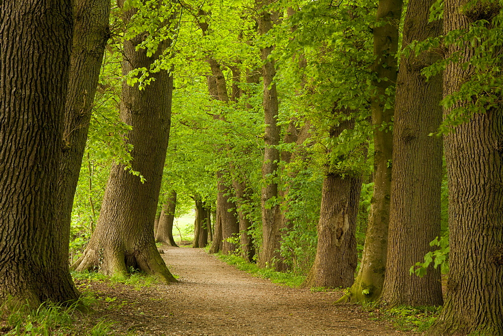 Alley of oak trees, Aukrug nature reserve, Schleswig-Holstein, Germany