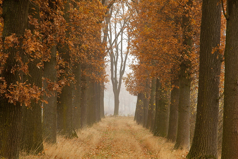 Alley of oak trees, Oldenburger Munsterland, Lower Saxony, Germany