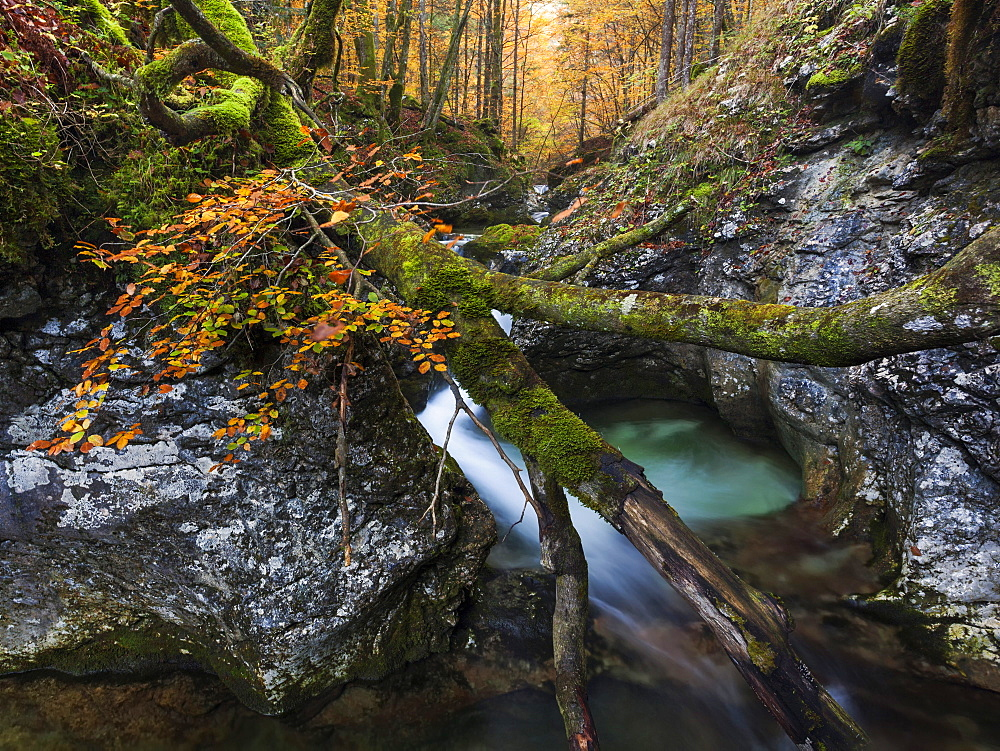 Overturned beech tree on limestone rocks of the deep mountain stream Suha in the Triglav National Park, Gorenjska, Slovenia