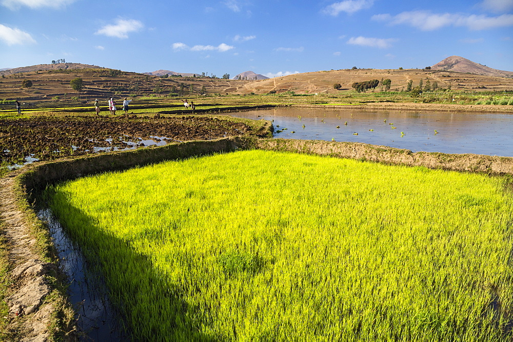 Rice fields, paddyfields west of Antananarivo, highlands, Madagascar, Africa