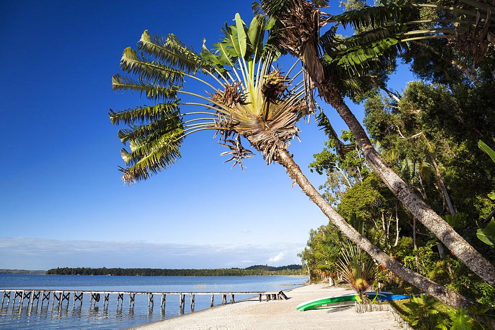 Traveller's Palms, Ravenala madagascariensis, beach at the Canal de Pangalanes, East Madagascar, Africa