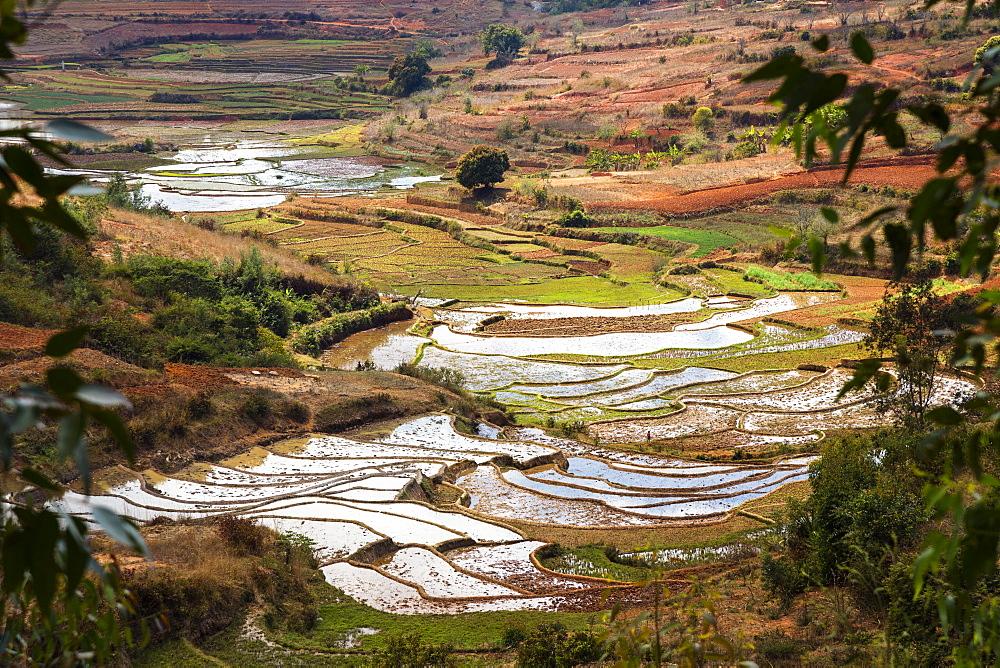 Rice terraces, paddyfields near Ambohimahasoa, highlands, Madagascar, Africa