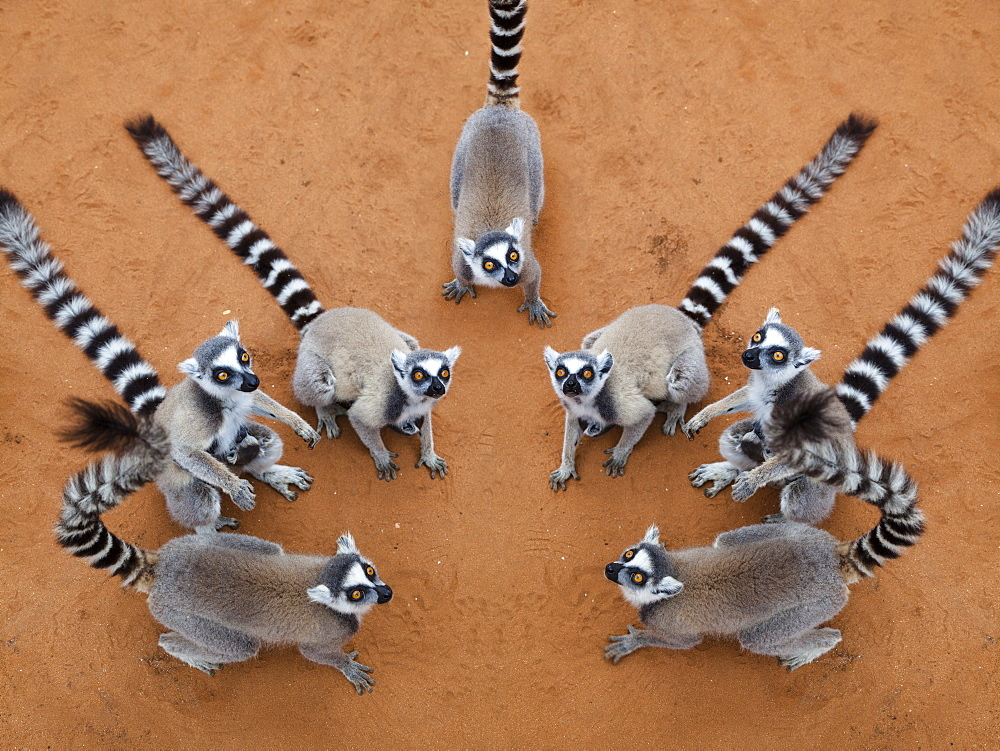 Ringtailed Lemurs Lemur catta, Berenty Reserve, South Madagascar, Africa, digital composing