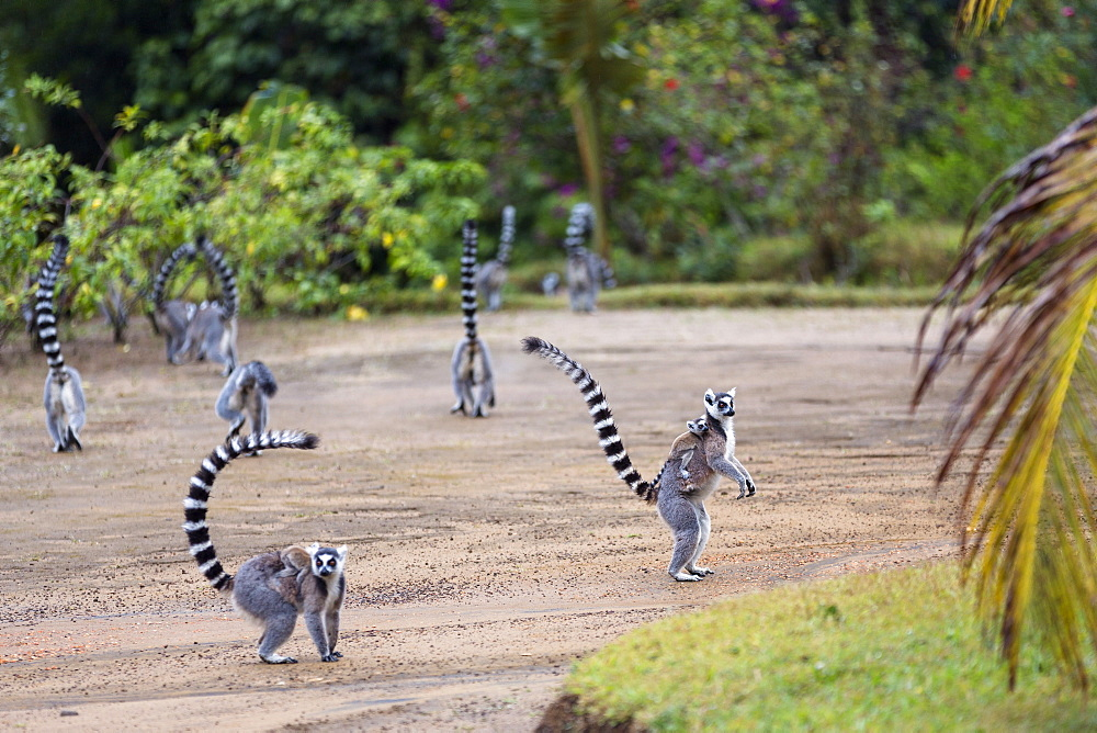 Ringtailed Lemurs with baby, Lemur catta, Nahampoana Reserve, South Madagascar, Africa