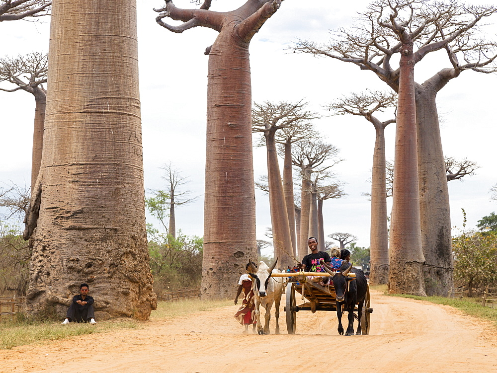 Oxcart on a Baobab alley near Morondava, Adansonia grandidieri, Madagascar, Africa
