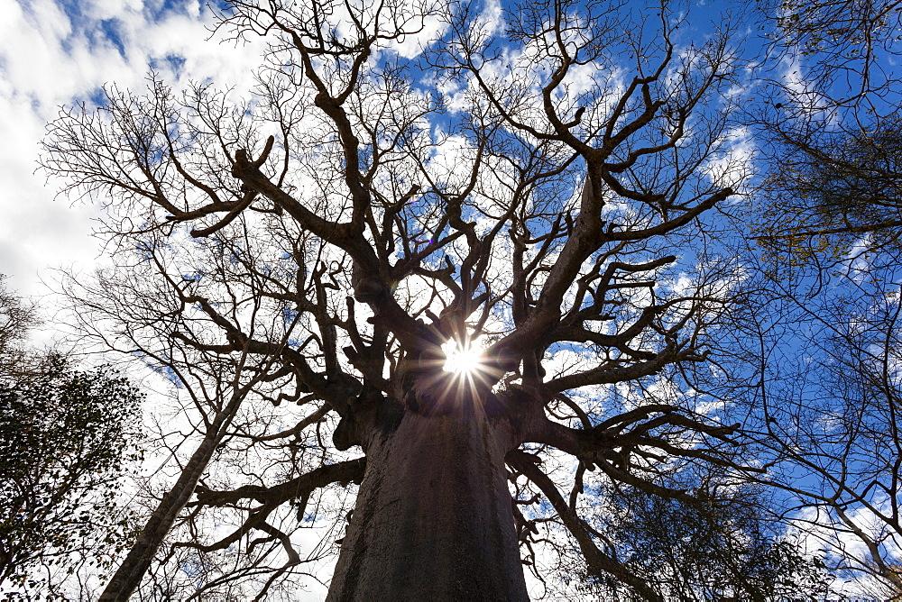 Holy Baobab, Adansonia grandidieri, West Madagascar, Africa
