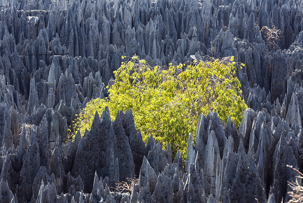 Rock formation with tree in the Tsingy-de-Bemaraha National Park, Mahajanga, Madagascar, Africa